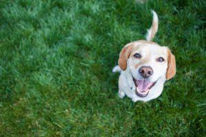 Dog in a lawn